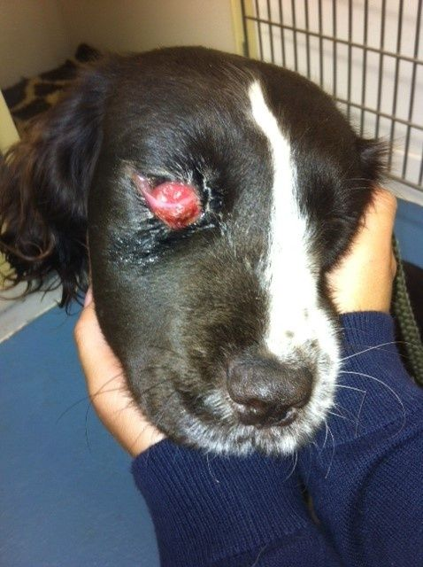 Doxycycline For Dogs Eye Infection