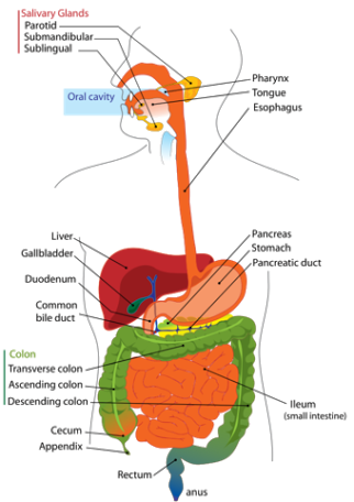 What is an example of a non ruminant animal quora in this picture here of the human digestive system there is only one stomach becasue only one is needed to digest the food we eat ccuart Gallery