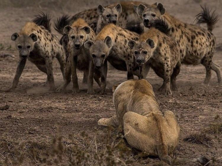 Would an average human stand a chance against a pack of hyenas? - Quora