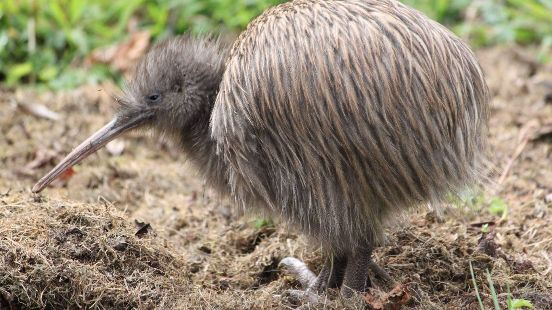 Why are New Zealanders called Kiwis? - Quora