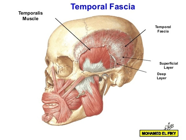 What Prevents The Lower Jaw From Falling Off The Skull Quora