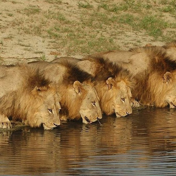 What do you call a group of lions? - Quora