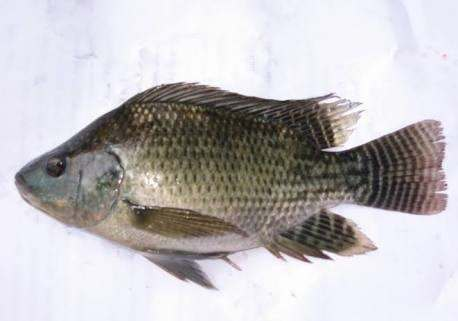 But My Experiment Is Not Totally Fail I Was Amazed About A Freshwater Fish Widely Known In Indonesia As Mujair Mozambique Tilapia Caught By Fisherman