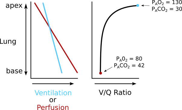 Why is ventilation perfusion ratio higher in lung apices quora consequently when the ratio of ventilation to perfusion is calculated the vq ratio is highest at the apex of the lungs and lowest at the base ccuart
