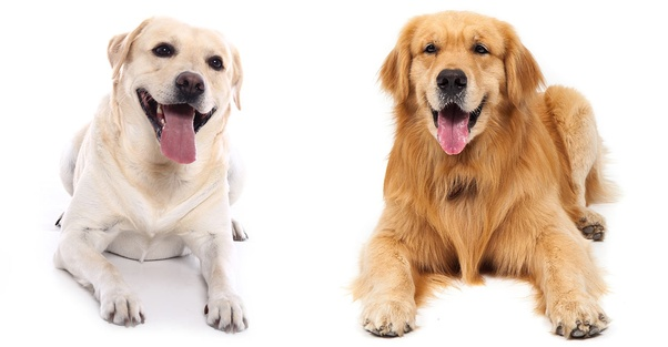 Which is the better breed: Labrador or Golden Retriever? - Quora