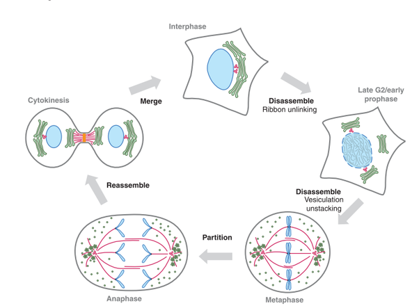What happens to the golgi apparatus during cell division quora fig 1 description schematic illustration of the mitotic division of the mammalian golgi during interphase the golgi stacks green are interconnected ccuart Image collections