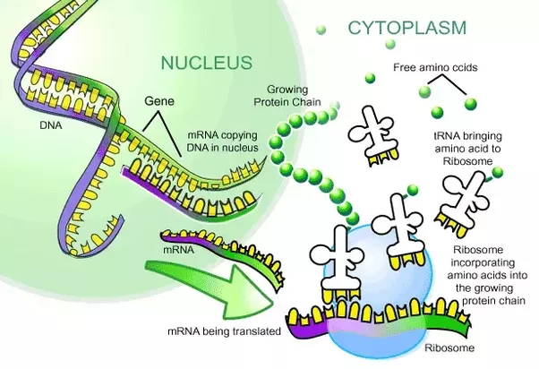 main qimg e07c3bbcf129a342d43f4fd2436bcfdc what is the role of the ribosome in a plant cell? quora