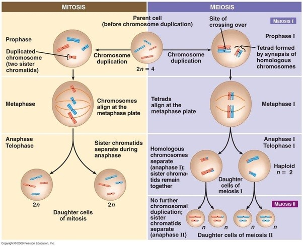 What is the importance of meiosis and mitosis quora by mitosis a cell splits to create two identical copies of the original cell the daughter cells are identical to the parent as well as to each other ccuart Choice Image