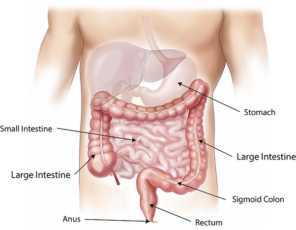 Why do small intestines have numerous small-sized villi? - Quora