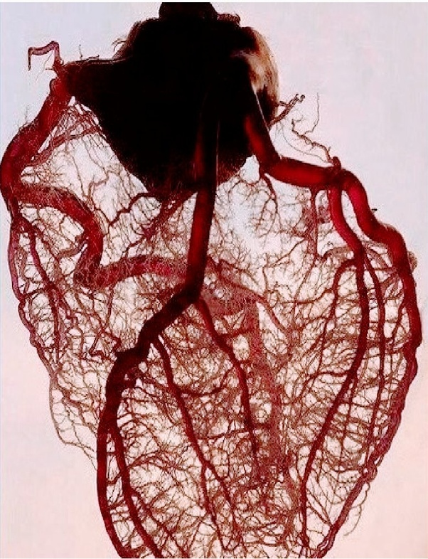 How many arteries does the heart have? What purpose do ...