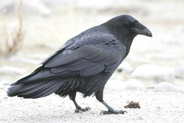 What is the exact difference between the raven and crow ...