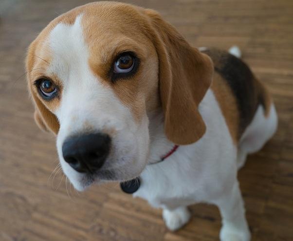Beagle Puppy In Chennai