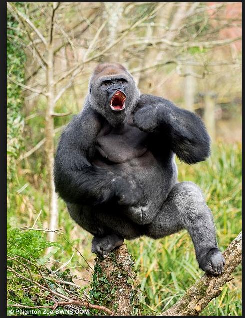 Longleat S Nico The Silverback Gorilla Has D