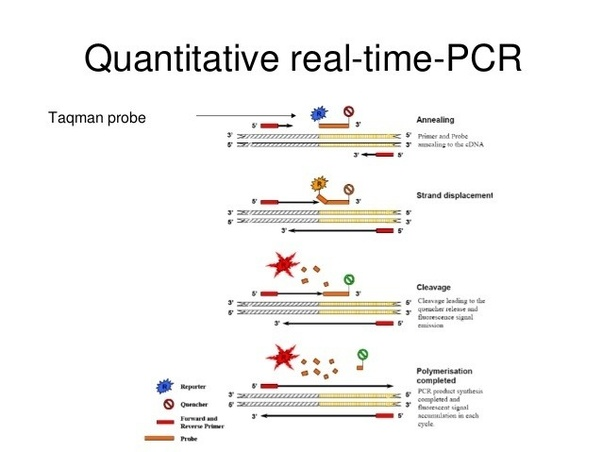 What is real time PCR (biology)? How does it function