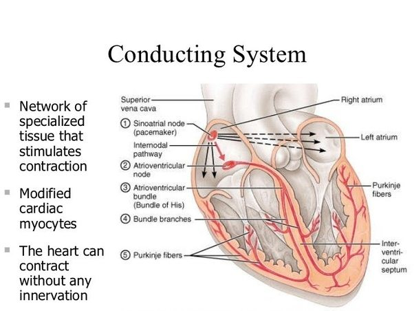 Does the stimulus conduction of the heart function independently how else could a transplanted heart stripped of all its nerve connection have a beat ccuart Gallery