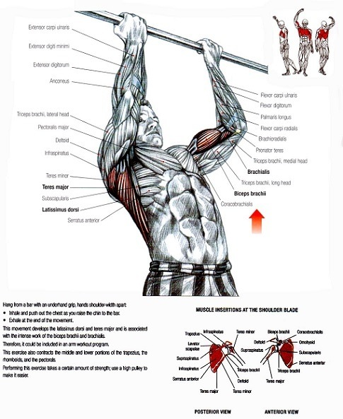 Can I grow biceps with bodyweight workouts only? - Quora