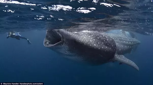 What would happen if you were swallowed by a whale quora large whale shark has a relatively small throat making it impossible for it to consume a human its diet mainly consists of small fish and fish eggs altavistaventures Image collections