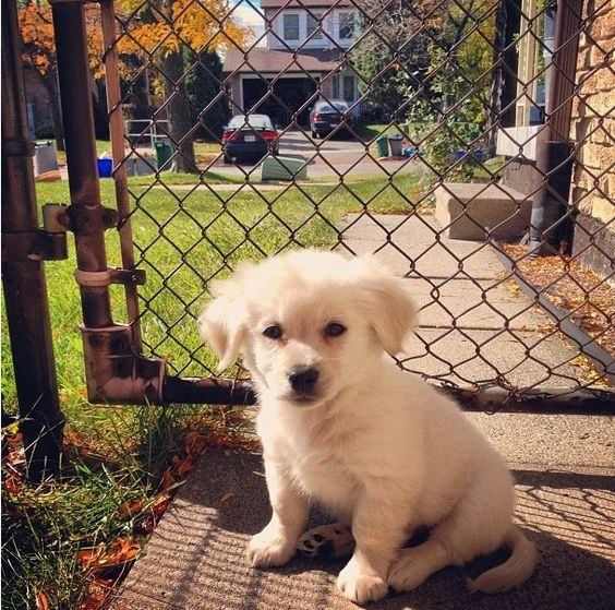 pomeranian lab mix what does a pomeranian golden retriever mix dog look like 5320