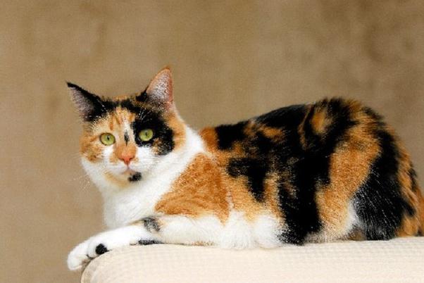 Apakah Benar Kucing Jantan Belang Tiga Adalah Raja Kucing Kucing Saya Yang Belang Tiga Ditakuti Oleh Kucing Kucing Lain Quora