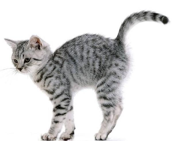 american bobtail cat adoption
