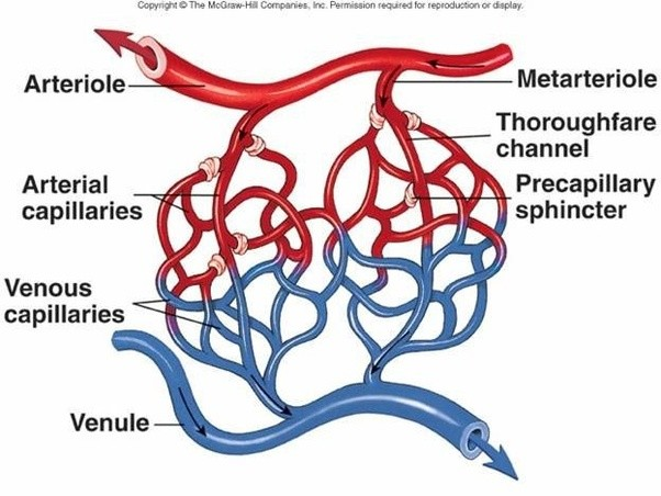 Why is pressure in the arterioles higher compared to capillaries ...
