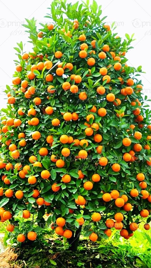 What Does An Orange Tree Look Like When It Is Heavy With Fruit Quora