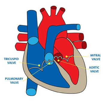 How do tricuspid and bicuspid valves help in blood flows ...