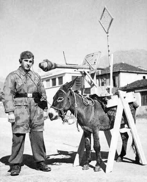 Donkey used in the army.