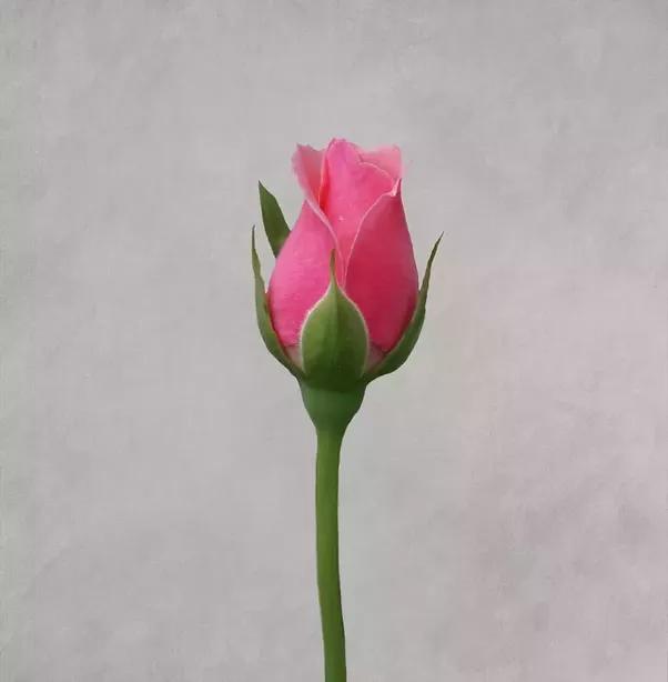 Anal plug Rosebud