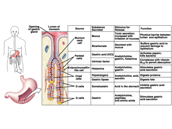Stomach cells image collections human anatomy diagram if our stomach can release acids to digest the meat we eat why aren ccuart Gallery