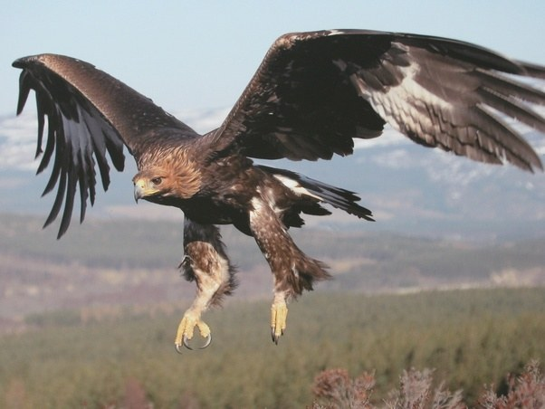 Who would win in a showdown between a bald eagle and a golden eagle ...