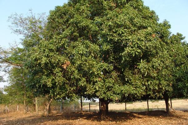 Mango Tree Images