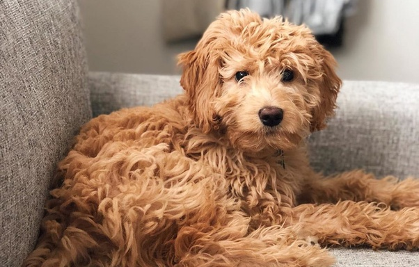 What Are Some Popular Poodle Mixes Quora