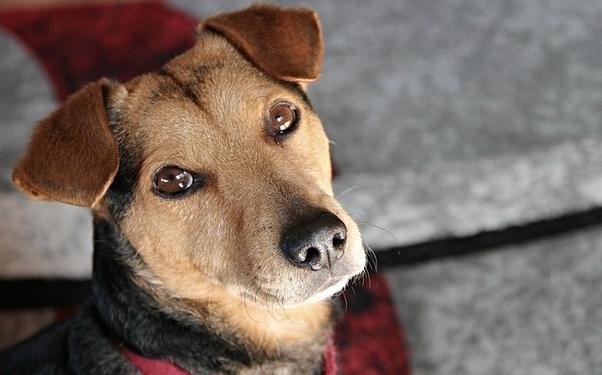 Is a blue heeler catahoula mix a good dog? - Quora