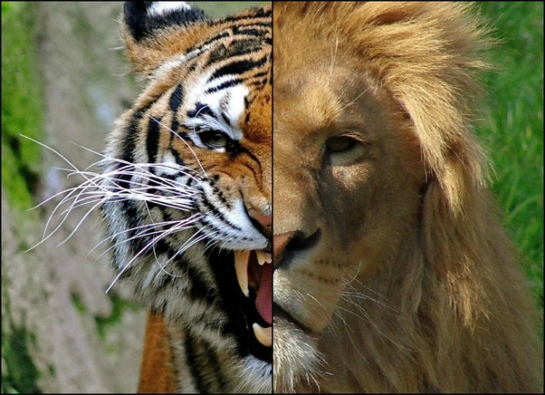 Who will win a fight between a tiger and a lion? - Quora
