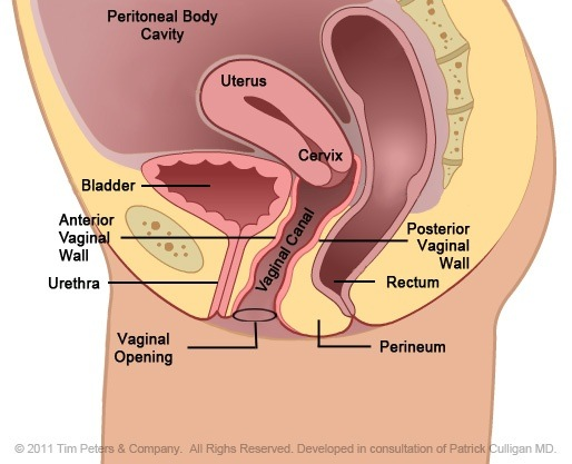 Diagram medical vagina