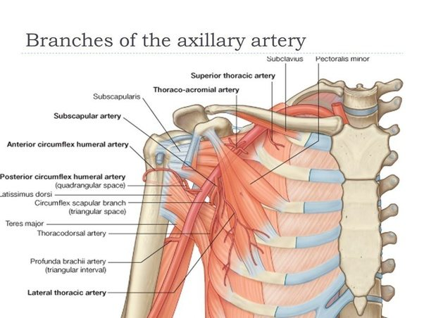 What function does the axillary artery serve? - Quora