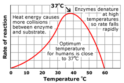 the effect of temperature on a catalase enzyme One of the mandatory leaving cert biology experiments.