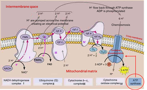Electron Transport Chain And Chemiosmosis Diagram Trusted Wiring