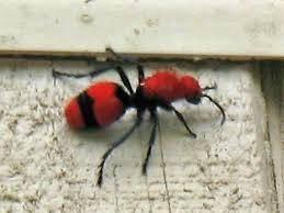 Red Velvet Ants Dasymutilla Aureola Pacifica Image Credit Arthurevans WordPress Com