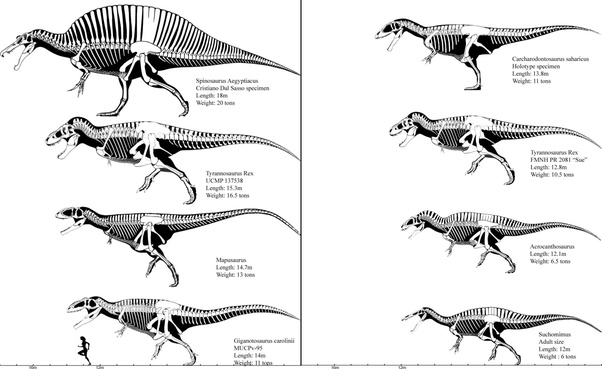 Who would win in a fight Mapusaurus or Giganotosaurus or ...Giganotosaurus Vs Spinosaurus Size