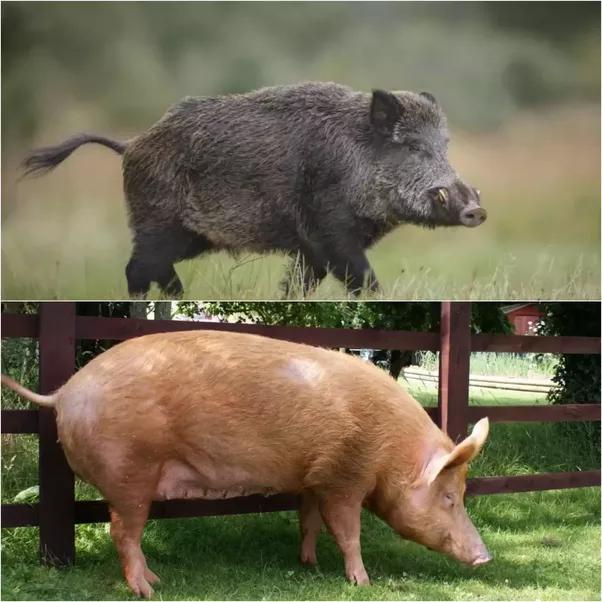 How is wild boar haram? - Quora