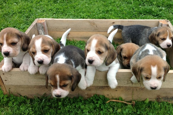 What Is The Price Of A Beagle Dog Quora