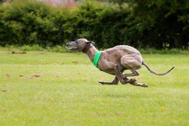 Fastest Dog