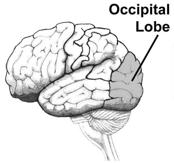what is the function of the optic lobe