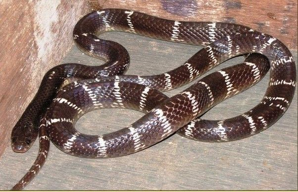 what is the nepali name of snakes found here quora