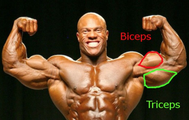 what are triceps and biceps quora