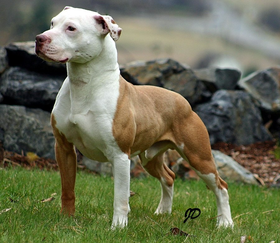How to distinguish between the pitbull and boxer dog breeds