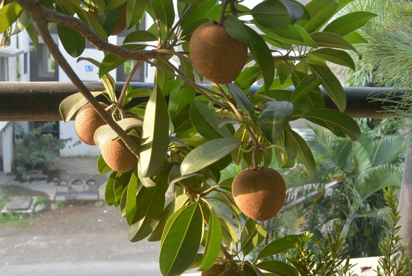 Can Bonsai Trees Produce Fruits Quora