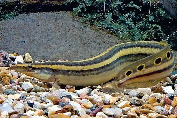 Freshwater Eel Pet | What Are Freshwater Eels For Aquariums Quora